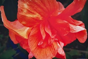Photo Canvas Print Hibiscus Orange 09