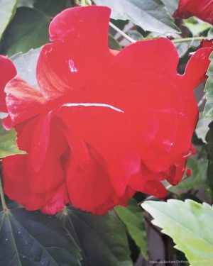 Photo Canvas Print Red Hibiscus 19