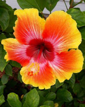 Floral Print Fiesta Hibiscus