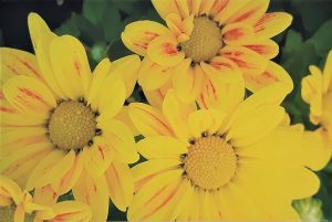 Photo Canvas Print Sunflowers