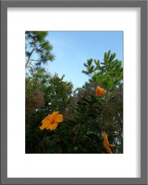 Original Photograph Yellow Hibiscus 06