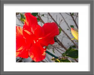 Original Photograph Red Hibiscus 07