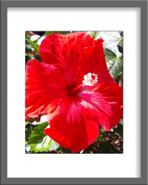 Original Photograph Red Hibiscus 09