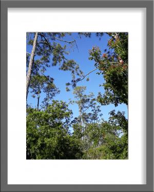 Original Photograph Tall Trees 10