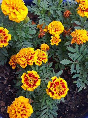 Floral Canvas Print French Marigold 41